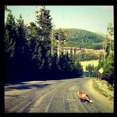 Big Sky's resident fox.