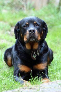 Looks handsome #rottweiler #pets https://www.nojigoji.com.au/