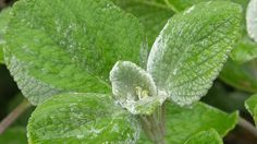 Zázračná rostlinka proti rýmě? Můžete si ji pěstovat i doma