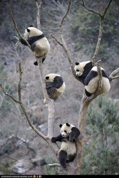 Les pandas sont des ours, enfin je crois.