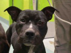 Brooklyn Center RUSHMORE – A1051564 ***DOH HOLD 09/15/15*** FEMALE, BLACK / WHITE, AM PIT BULL TER MIX, 3 yrs STRAY – STRAY WAIT, HOLD FOR DOH-NHB Reason STRAY Intake condition UNSPECIFIE Intake Date 09/15/2015, From NY 11434, DueOut Date 09/18/2015, I came in with Group/Litter #K15-032242. Urgent Pets on Death Row, Inc
