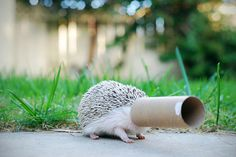 Toilet Paper Tube Quality Control Inspector #92 | Community Post: 30 Lucrative Occupations For Hedgehogs