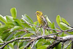 Del 16 al 20 de Junio pase unos días en mi aldea de A Veiguiña de Conso. La mayoría de aves están en plena época de cría, la mayoría de ni...