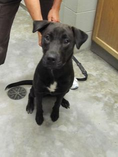08/03/14~ Meet Snickers~ Pet ID: 0701K • Shots Current, Black Labrador Retriever Mix • Young • Female • Large. Williams County Humane Society Bryan, OH. +1 419-636-2200. Please adopt this young dog into a loving home.