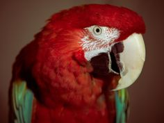 Green-Winged Macaw.