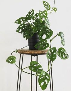 Plants, Indoor plants, Pinterest plant, Hanging plants, House plants decor, Interior plants - Plants Interior Monstera 54 Ideas For 2019 plants - #Plants