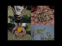 Medicinal Rice P5L Formulations for Begonia Excess: Pankaj Oudhia's Medi...