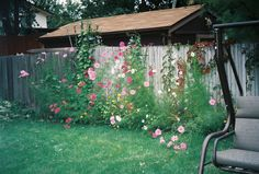 Cosmos & morning glories from garden Morning Glories, Cosmos, Castle, Bloom, City, Garden, Plants, Beautiful, Garten