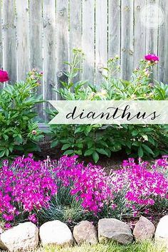 Perennials With just a little research and knowledge of your planting zone you can achieve a beautiful, healthy garden in no time. Here are 10 great perennials that will get you started. Hardy Perennials, Flowers Perennials, Planting Flowers, Flower Gardening, Organic Gardening, Gardening Tips, Garden Care, Garden Beds, Apartment Vegetable Garden