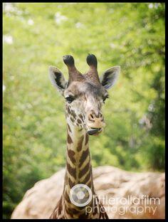 Road Trip 2013 - Nashville Zoo part 2 Giraffes (with attitudes), Zebras, Flamingos, goats, red pandas, reptiles, and more!
