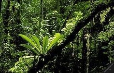 french guiana guianas nouragues natural forest reserve jungle flora nature amazonian lowland tropical rainforest plants bromeliaceae horizon... #jungle