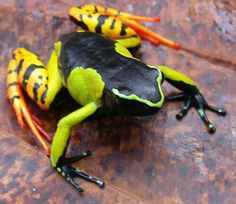 Mantella baroni is a species of frog in the Mantellidae family. It is endemic to…
