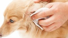 dog care,dog grooming tips,dog ideas,dog nail trimming,dog ear cleaner Cleaning Dogs Ears, Ear Cleaning, Dog Care Tips, Pet Care, Puppy Care, Pet Tips, Spray Anti Puce, Poodle, Dog Ear Cleaner
