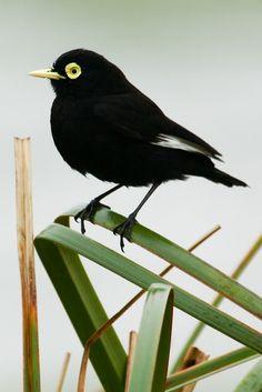 Foto viuvinha-de-óculos (Hymenops perspicillatus) por Alexandre Toda Faitarone | Wiki Aves - A Enciclopédia das Aves do Brasil