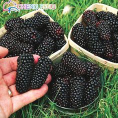 100% High Quality Raspberry Seed 100pcs 5 Colors Super Big Black Mulberry  Fruit Seeds Flower Pots Strawberry Bonsai Blackberry