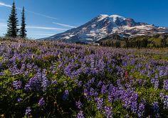 Mount Rainier - Washington State  Photographer: Mike Reid