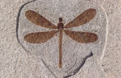 Green River Fossilized dragonfly: Many species of insects are found in the Green River Formation including dragonflies. The wetland margins of Fossil Lake provided ideal breeding and foraging opportunities. Extinct Animals, Prehistoric Animals, Green River, Dinosaur Fossils, Petrified Wood, Prehistory, Rocks And Gems, Ammonite, Rocks And Minerals
