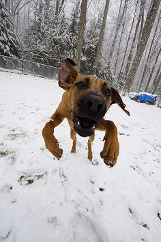 Rhodesian Ridgeback playing in the snow -- haha, I love this!