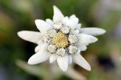 Edelweiss (Leontopodium alpinum) is one of the best-known rare. Edelweiss (Leontopodium alpinum) is one of the best-known rare , Let It Go Tattoo, Alpine Flowers, Edelweiss, Paint Photography, Flower Template, Flower Photos, Flower Tattoos, Drawing, Royalty Free Photos