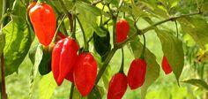 Chili und Paprika - Gemüse des Jahres 2015/2016 - hier angebaut im Topf auf der Terrasse