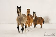 Akhal-Teke mares by ~MsCarmen on deviantART