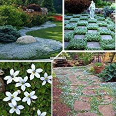 30 Pcs Blue Star Creeper Seeds Ground Cover Perennial Flower Seeds IS for sale online Ground Covers For Sun, Ground Cover Seeds, Ground Cover Plants, Growing Flowers, Planting Flowers, Bonsai, Perennial Ground Cover, Home Garden Plants, Flowers Perennials