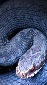 Animal Snake Mobile Wallpaper