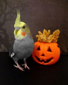 Happy Halloween from a Cockatiel