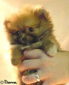 Give me one of these and I will be your slave for life! lol. Pomeranian Puppy Dogs <3