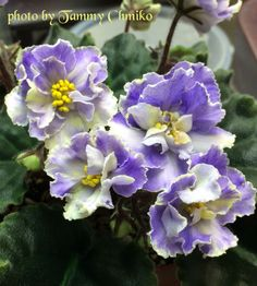 Butterfly African Violet Blueberry | African Violet Society of America | Promoting and Growing the African ...
