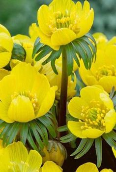 Eranthis cilicica - Winter Aconites You can't go wrong with these babies