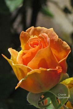 ~Honey Perfume floribunda rose
