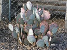 Prickly Pear Cactus (Opuntia species)