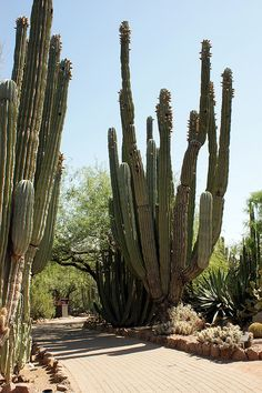 Cacti at Desert Botanical Garden , Phoenix, Arizona, went there a couple off years ago and it was beautiful.