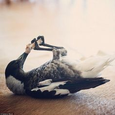 Take a look at the story of an Australian family finding a baby magpie about to die. They rescued it and now Penguin the Magpie is the family pet. Black And White Birds, Cuddling On The Couch, Lifelong Friends, Crows Ravens, Australian Birds, Save Her, Wild Birds, Bored Panda, Magpie