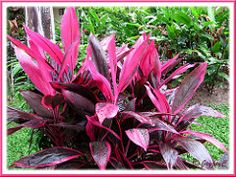Cordyline terminalis/C. fruticosa or Ti Plant, Hawaiian Ti, Good Luck Plant - (hot pink/purplish maroon)