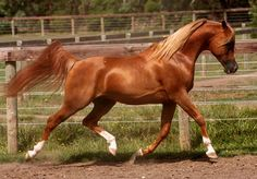 Valor (TR Viktor x Salida) The Arabian Horse - Drinkers of the Wind