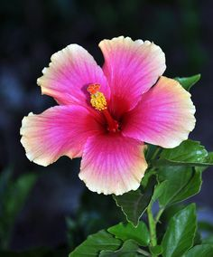 Flowers hibiscus hawaii