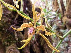 Flower-detail of Cyrtochilum angustatum in situ - Flickr - Photo Sharing!