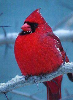 Cardinals are such amazing birds Pretty Birds, Beautiful Birds, Animals Beautiful, Cute Animals, Animals Amazing, Pretty Animals, State Birds, Cardinal Birds, Tier Fotos