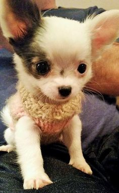 someone made this baby a sweater... #chihuahua