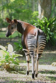 Okapis (Okapia johnstoni), the only living relative of giraffes, are shy and reclusive creatures that dwell in the dense rain forests of the Democratic Republic of Congo. There in light filtering through lush foliage, their striped rumps provide excellent camouflage. Due to habitat loss and political unrest in the DRC, the wild population has declined by 50 percent in the last 20 years. Nature Animals, Animals And Pets, Baby Animals, Cute Animals, Wild Animals, Zebras, Beautiful Creatures, Animals Beautiful, Okapi