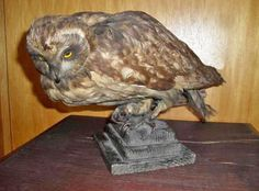Absolutely Adorable Vintage RARE Owl Taxidermy Pre 1947 Dated 1945 | eBay