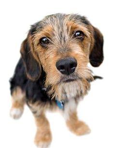 18 Awesome Beagle Mixes: Hearty, Healthy Mixed Breed Hounds! Art Beagle, Beagle Dog, Beagle Mix Puppies, Beagle Facts, Pocket Beagle, Bulldog Breeds, Purebred Dogs, Losing A Dog