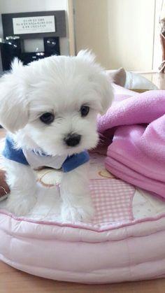 Adorable Maltese puppy