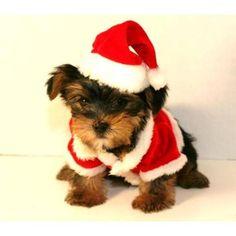 yorkie santa baby