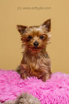 Meet Brandi, a Petfinder adoptable Yorkshire Terrier Yorkie Dog   Baton Rouge, LA   2/17/15 - ADOPTION PENDING!Adoption Fee: $500Fostered in LouisianaAge: 2 yearsWeight: 5...