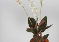 Ludisia on maaorkidea, joka kukkii yleensä talven pimeimpään aikaa. Lue helppohoitoisen ludisian hoito-ohjeet Viherpihasta.