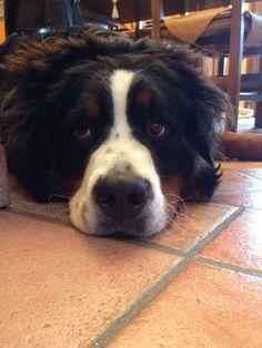 Bernese , ayla , dog
