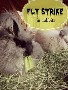 Fly Strike is a potentially deadly condition all rabbit owners should be on the lookout for